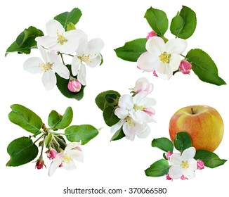 Set of apple flowers isolated on white