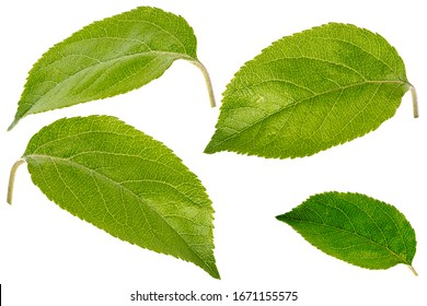 set of apple leaves isolated on white background