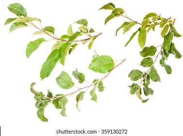 Set apple tree branch with leaves isolated on white background
