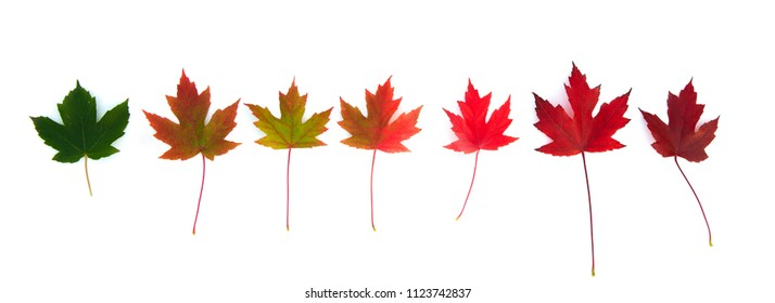Set of autumn beautiful colour leaves from green to deep red, nice desiign element isolated over white background