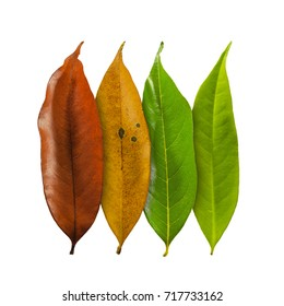 Set Autumn Color leaves isolated on white background with clipping path, Leaves of Longan.