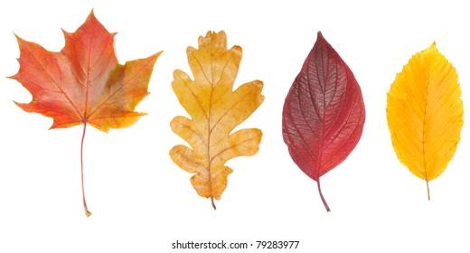 set of autumn leaves, isolated on white background