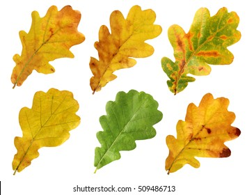 Set of autumn leaves of oak isolated on white background.