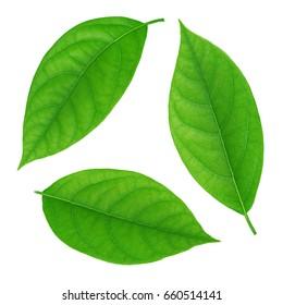 Set of avocado leaf isolated on a white