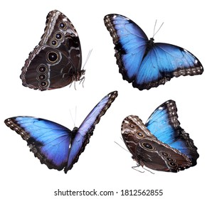 Set of beautiful blue morpho butterflies on white background