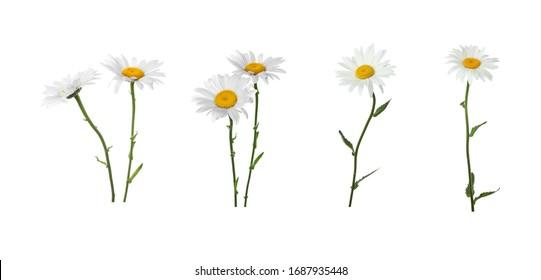 Set of beautiful chamomile flowers on white background