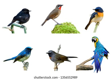 Set of beautiful colorful birds isolated on white background, Pied bush chat, siberian rubythroat, tickell's, hainan blue, rufous-gorgeted flycatcher and Blue and gold macaw