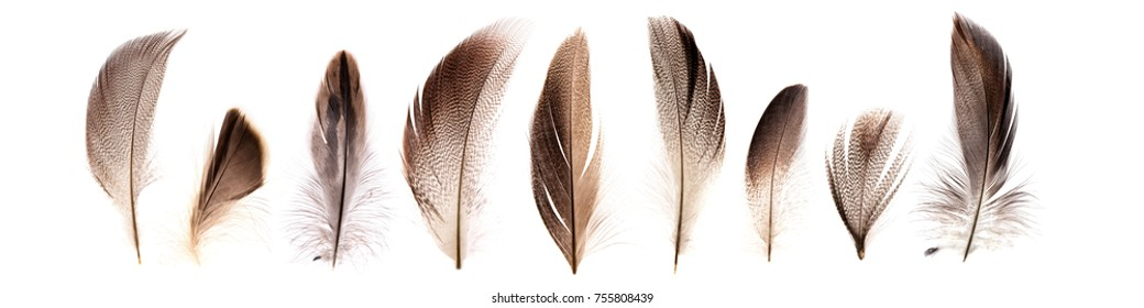 set of beautiful fragile pheasant bird feathers isolated on white background