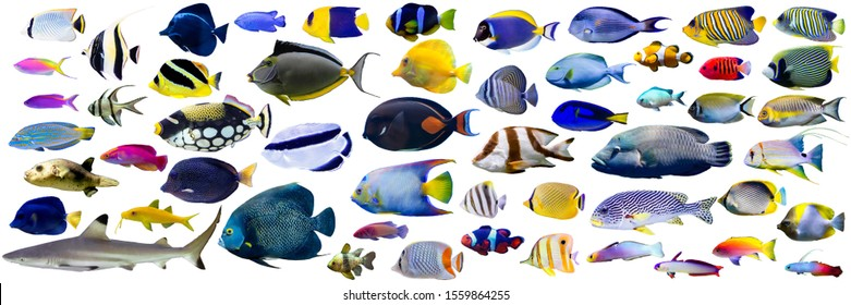 Set of Beautiful Marine fish and shark on white isolated background such as angelfish, butterflyfish, surgeon, wrasse and snapper