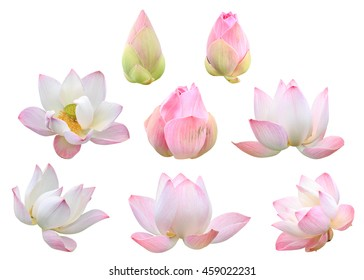Set of beautiful pink lotus flower isolated on white background. Saved with clipping path (Lotus used to worship)