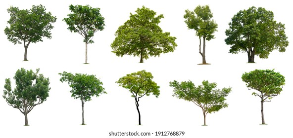 Set beautiful trees isolated on white background, Suitable for use in architectural design, Decoration work, Used with natural articles both on print and website.
