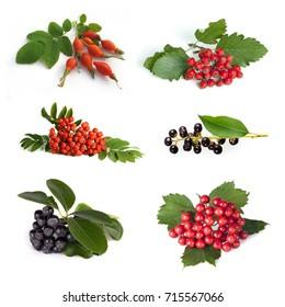 Set from berries: dogrose ( Rosa canina), hawthorn (Crataegus; thornapple), rowan berry (mountain ash (Viburnum; snowball), bird cherry (Padus avium), black chokeberry (Aronia melanocarpa) isolated