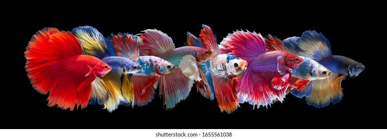 Ensemble de Béttafish sur fond noir.Capturer le moment mouvant du poisson combattant siamois isolé sur fond noir