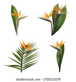 Set with bird of Paradise tropical flowers on white background
