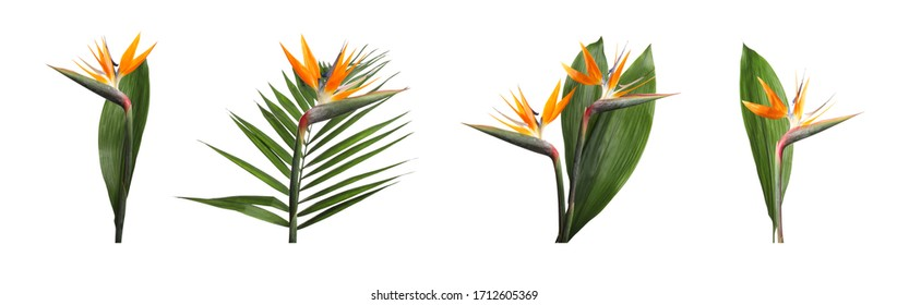 Set with bird of Paradise tropical flowers on white background. Banner design