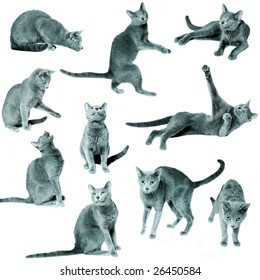 Set of blue russian cats on isolated white background
