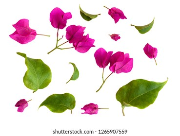 Set of bougainvillea flowers and leaves isolated on white
