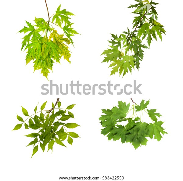 Set the branch with green summer leaves isolated on white background