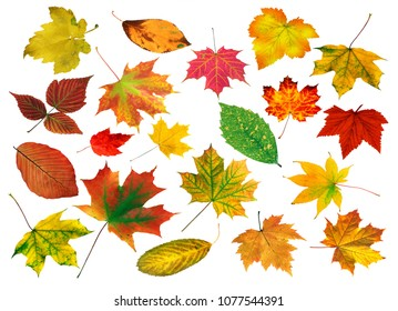 set of bright beautiful colourful autumn leaves isolated on white background