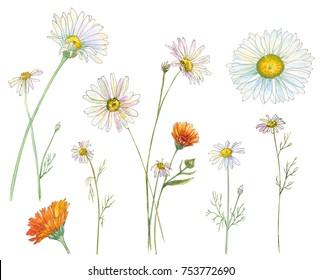 Set of Chamomile (Daisy) and Calendula (Marigold), white, orange flowers and leaves, bouquet, hand draw watercolor painting, realistic botanical illustration on white background