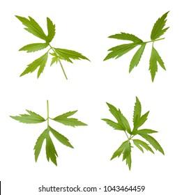 set of chamomile leaf isolated white