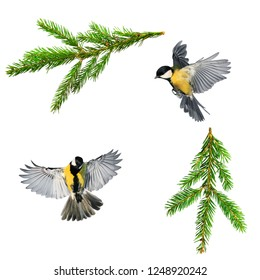 set of Christmas bird photos of tit and branch of green spruce on white isolated background