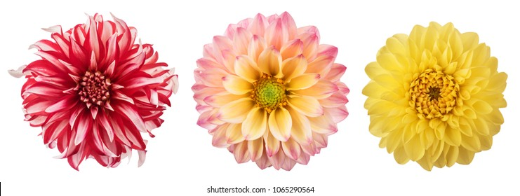 Set of chrysanthemum flower heads isolated on white background.