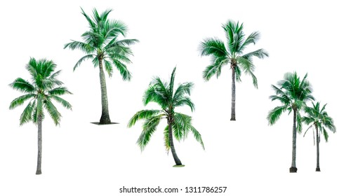 Set of coconut tree isolated on white background used for advertising decorative architecture. Summer and paradise beach concept. Tropical coconut tree isolated. Collection of six coconut palm tree.