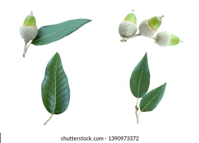 set collection of   the Holm Oak (Quercus ilex) isolated on a white background.