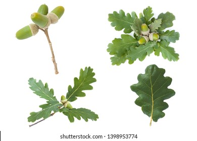 set collection of the  Leaves and fruit of Downy Oak (Quercus pubescens) isolated on a white background