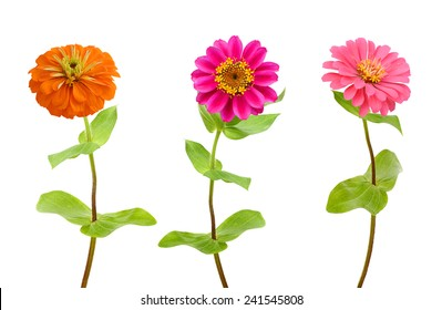 Set of color zinnia flowers isolated on white