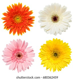 Set of colorful Gerbera flowers isolated on white background.