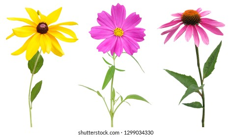 set of cosmos, rudbeckia and echinacea branches isolated white