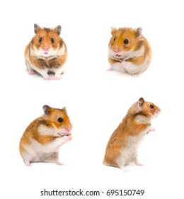 Set of cute funny Syrian hamsters in different poses (isolated on white)