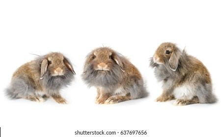 Set of cute lionhead bunny rabbit, isolated on white background