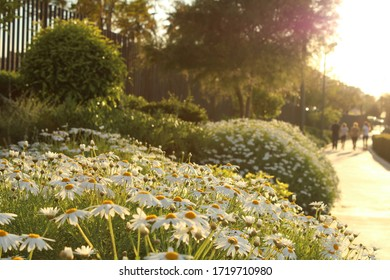 Set of daisies with people walking