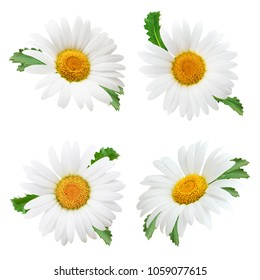 Set of daisy flower with leaves isolated on white background