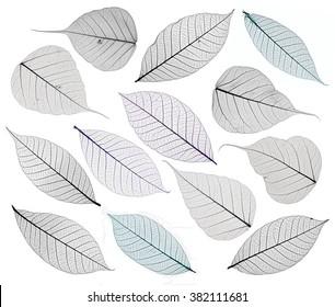 Set of decorative skeleton leaf isolated on white.