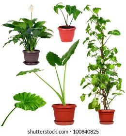 Set of different plants.Syngonium podophyllum, Nephthytis, Giant Taro or Alocasia machrorhiza,Houseplant - Spathiphyllum floribundum (Peace Lily)