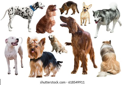 set of different purebred dogs isolated on white background