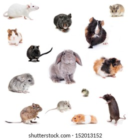 Set of Different spieces of rodents, isolated on white