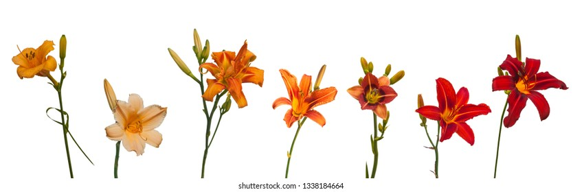 Set of different varieties of orange daylilies  on a white background isolated.