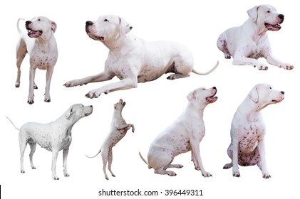 Set of Dogo Argentino, isolated on white