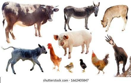 set of domestic farm animal isolated on white