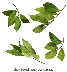 A set of dried green aromatic bay branch photos, isolated on white. Laurel twigs. Photo of laurel bay harvest for eco cookery business. Antioxidant kitchen herbs