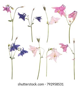 Set of Dried and pressed flowers of a pink? blue and purple Aquilegia vulgaris (Columbine flower) isolated on a white background. Herbarium of spring flowers.