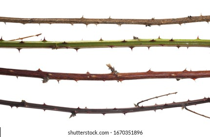 Set dry, green and brown barbed hip branch isolated on white background and texture