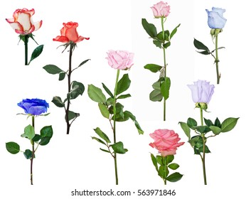 set of eight roses isolated on white background