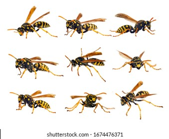Set of European wasp German wasp or German yellow jacket isolated on white background in latin Vespula germanica