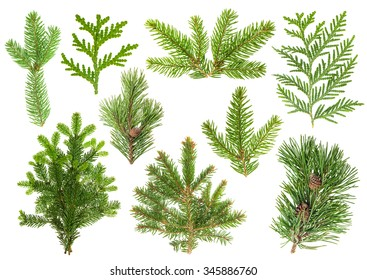 Set of evergreen coniferous tree branches isolated on white background. Spruce, pine, thuja, fir sprigs
